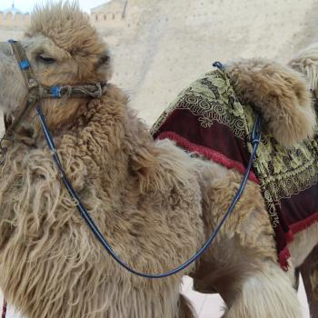 Camel outside Zindan in Bukhara