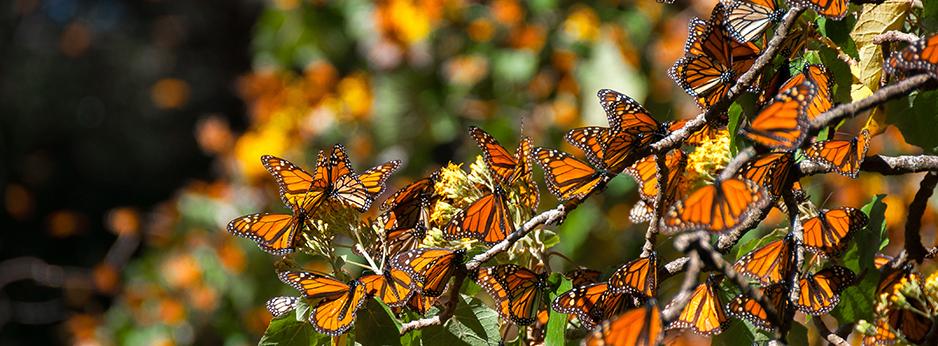 Mariposa Monarca Biosphere Reserve, Mexico. © Shutterstock.com