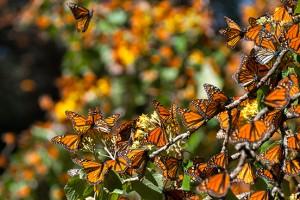Mariposa Monarca Biosphere Reserve