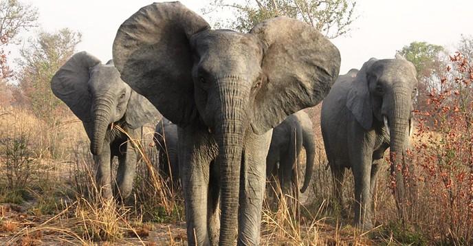 Elephants in the Pendjari Biosphere Reserve/Benin